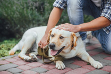 Active, Smile And Happy Labrador Retriever Dog Outdoors In Grass Park On Sunny Summer Day. Dog With His Owner.