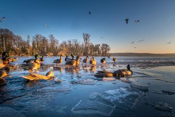 gefrorener See - Ente - Eis