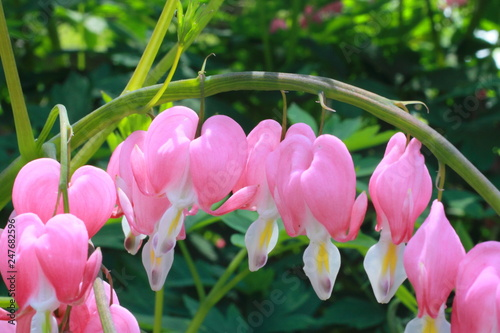 Photo  Bleeding Hearts