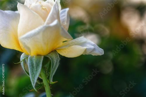 Fotografie, Obraz  Close-up of a white rose flower on green sopft focus background