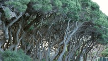 Twisted Moonah Trees Located On An Australian Beach Front. PAN DOWN SHOT Revealing Contorted Trunks And Branches.