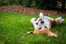 A Happy Beagle With Her Tongue Hanging To The Side Rolls Upside Down In The Grass.