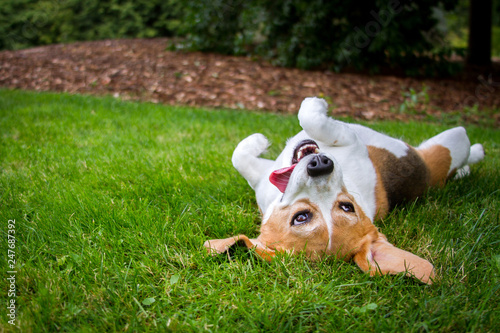 A happy beagle with her tongue hanging to the side rolls upside down in the grass Fototapet
