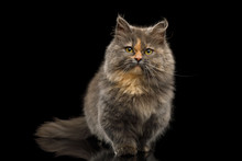 Cute Munchkin Cat Tortoise Fur, Sitting And Curious Looking In Camera Isolated Black Background, Front View
