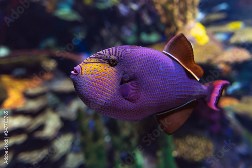 Fotografie, Obraz  Red-toothed triggerfish - Odonus niger saltwater fish, close up,detail