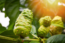 Noni Fruit Herbal Medicines / ...