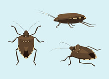Invasive Species BROWN MAMORATED STINK BUG Vector Illustration