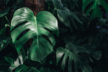 Monstera Deliciosa Or Mexican Breadfruit Or Swiss Cheese Plant Decorated In Tropical Garden. Tropical Green Leaves Nature Background.