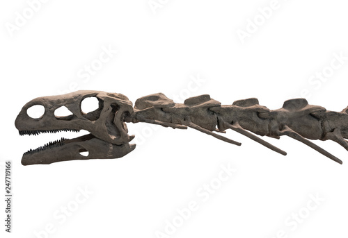 Photo  dinosaur skeleton on white background , isolated