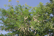 Honey Locust Tree  With Fruit....