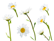 Blooming Oxeye Daisies (Leucanthemum Vulgare) Isolated On A White Background