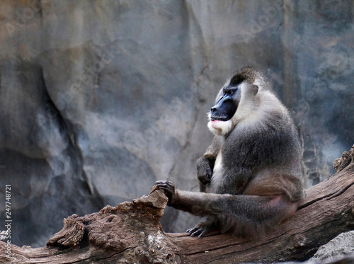 Fotografía  Drill (Mandrillus leucophaeus) adult male, Pandrillus Sanctuary, monkey