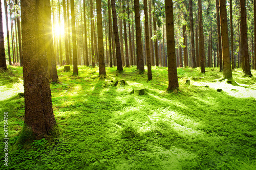 Wall Murals Forest Sunlight in the germany forest. Spring nature background.