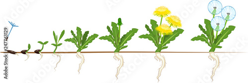 Fototapeta Life cycle of dandelion plant or taraxacum officinale. Stages of growth from seed to adult plant obraz