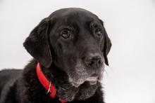 An Elderly Black Labrador Bitc...