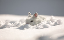 Little Cute White Hare On The ...