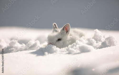 little cute white hare on the snow Wallpaper Mural
