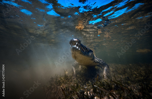 Poster Crocodile Wild Saltwater alligator crocodile closeup underwater shot in sea water