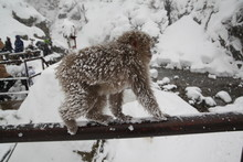 Nagano Prefecture Snow Monkey In Japan