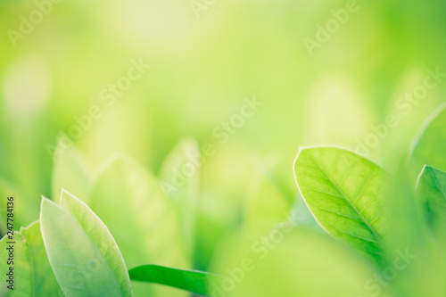 Fototapeta Close up beautiful view of nature green leaves on blurred greenery tree background with sunlight in public garden park. It is landscape ecology and copy space for wallpaper and backdrop. obraz na płótnie