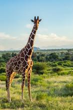 Giraffe Crossing The Trail In ...