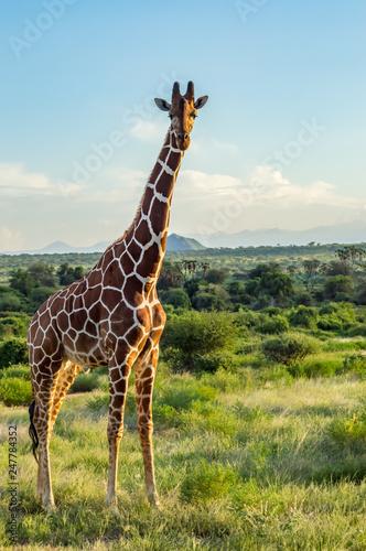 Obraz na plátne Giraffe crossing the trail in Samburu Park