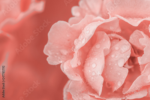 flower-rose-with-dew-macro-space