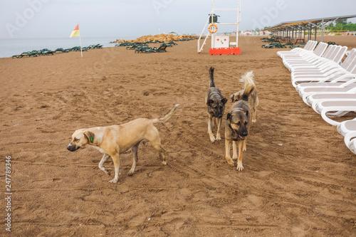 Foto  Portrait of cute big yellow mongrel dog relaxing at sandy summer beach outdoors