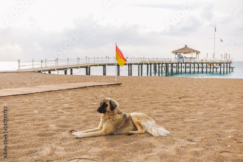 Foto  Portrait of cute big yellow mongrel dog relaxing at sandy summer beach outdoors