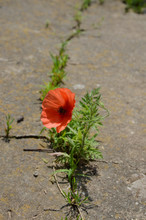 Beautiful Red Poppy Growing Th...