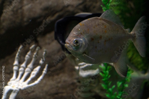 Fotografia, Obraz  piranha fish close up underwater wwith human skeleton