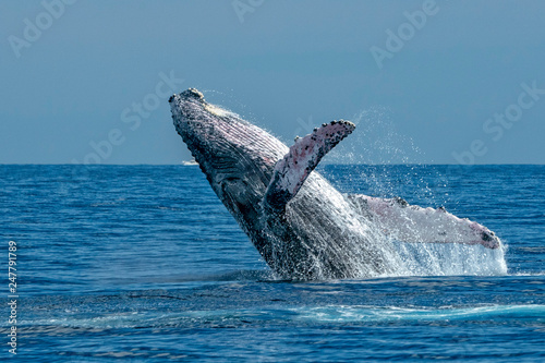 humpback whale breaching in cabo san lucas Fototapeta