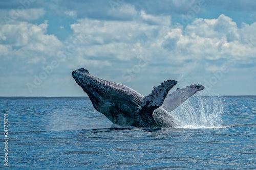 Fototapeta humpback whale breaching