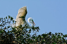 Great White Egret High On Tree...