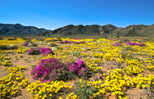 Blooming Desert In Spring Of Namaqualand, South Africa