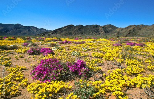 Poster Miel blooming desert in spring of namaqualand, south africa