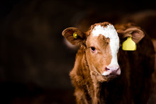Brown Calf In A Barn