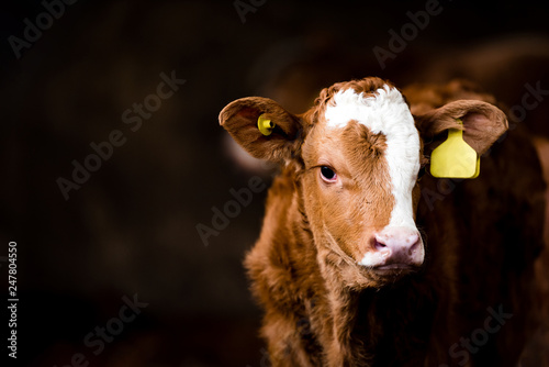 Brown calf in a barn Fotobehang