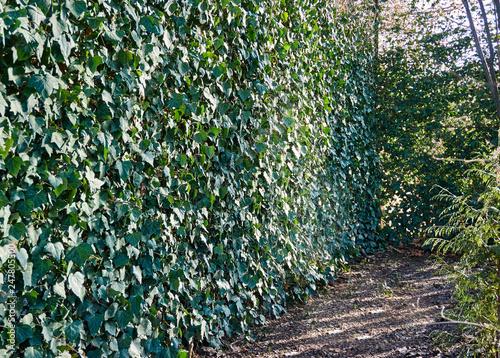 Chain Link Is Hidden Under English Ivy