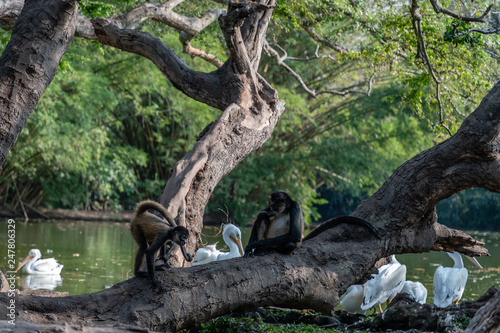 Canvas Prints Panther monkeys by lake in Guatemalan park