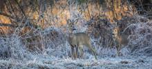 Roebucks On A Frosty Winter Morning In The Meadow