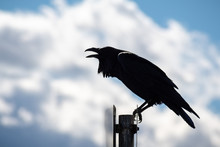 Close Up Of Large Raven Perched On A Metal Post In South San Francisco Bay Area; White Clouds And Blue Sky Visible In The Background; California