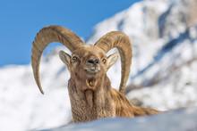 Ritratto Di Stambecco Alpino (Capra Ibex)