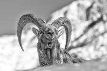 Ritratto Del Re Delle Alpi, Stambecco Alpino (Capra Ibex)