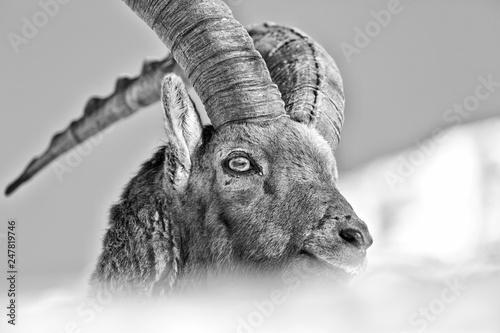 Photo Ritratto del re delle Alpi, stambecco alpino (Capra Ibex)