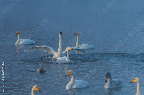 Fotografie, Obraz  Fighting white whooping swans swimming in the nonfreezing winter lake