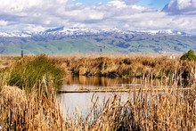Cattail And Tule Reeds Growing On The Shorelines Of A Creek In South San Francisco Bay; Green Hills And Snow Covered Mountains Visible In The Background; San Jose, California