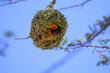 canvas print picture - Webervogel beim Nestbau