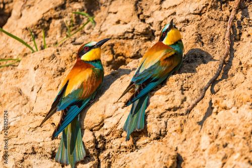 Exotic birds European bee-eater or Merops apiaster perch