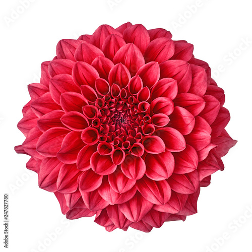 flower crimson dahlia isolated on white background. Close-up. Nature.
